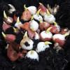 Blomsterlökar i ätbar jord - en förrätt