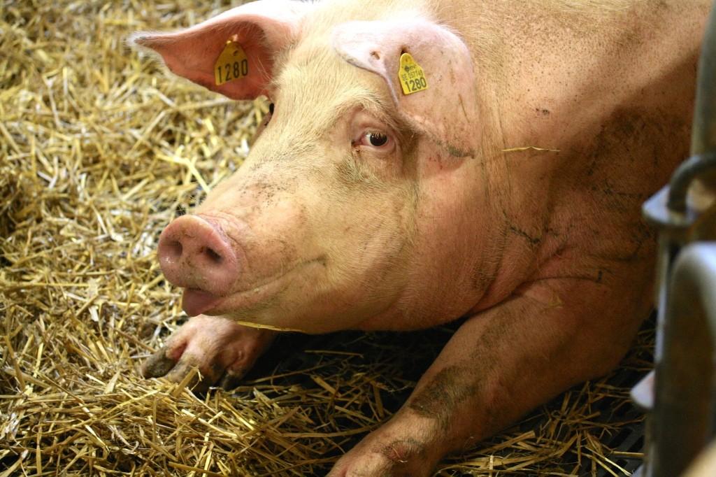 lycklig gris